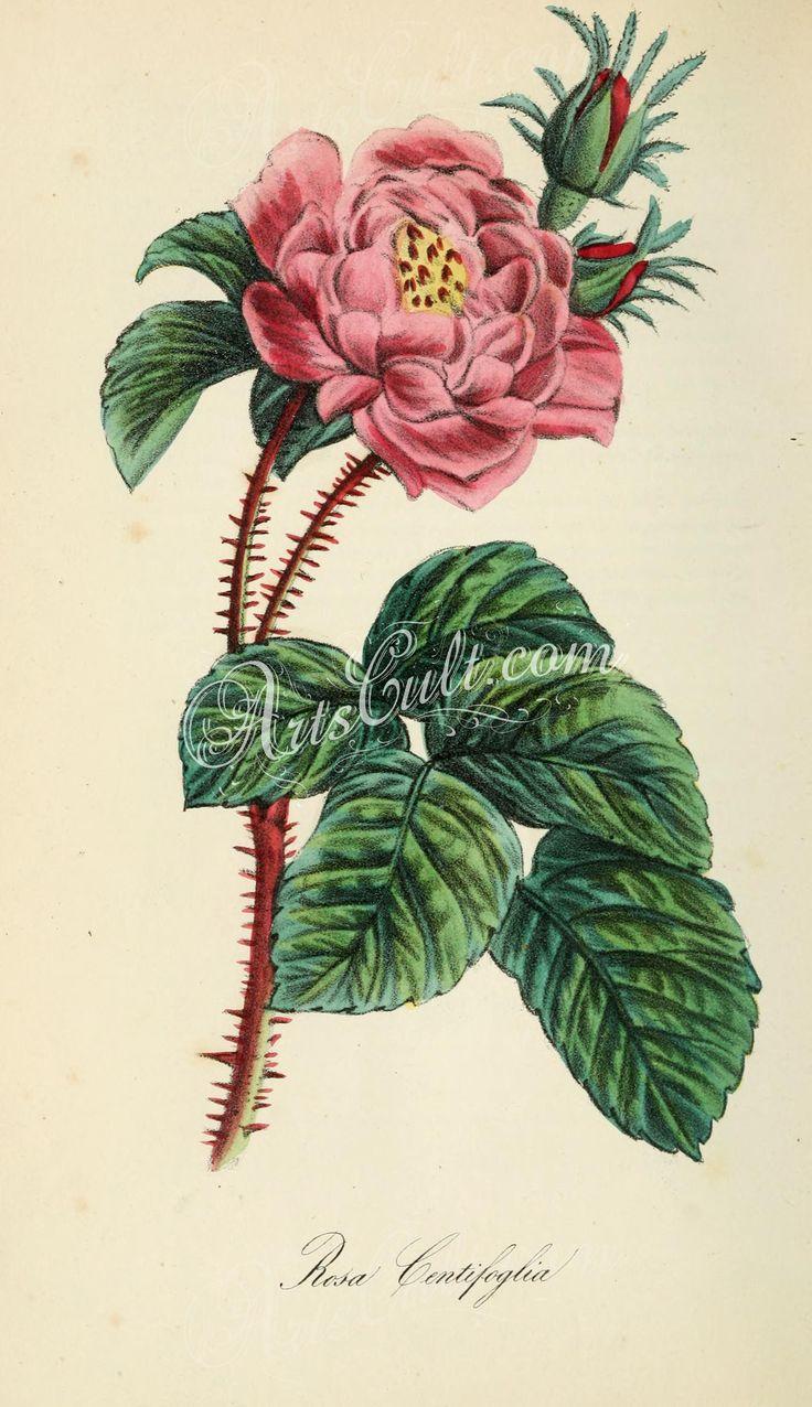 rosa centifoglia   ...