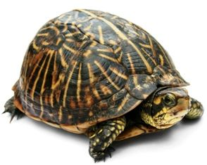 The Florida Box Turtle feeds on different types of invertebrates, insects and plant matter. This species of box turtle seems to be very carnivorous even as adults. Males are slightly larger on average than females, the posterior lobe of their plastron is concave, and the claws on their hind legs are short, thick, and curved. Males also have thicker and longer tails. Females' rear claws are longer, straighter, and more slender, and the posterior lobe of their plastron is flat or slightly…