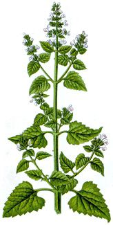 Catnip, Catmint is used by all ages to settle the stomach, sooth flatulence, and colic. Catnip also has mild sedative effects and combines nicely with your other favorite sleepy time herbs. Catnip is anti-inflammatory and is effective for digestive related headache, is helpful for gentle pain relief, and cooling a fever.