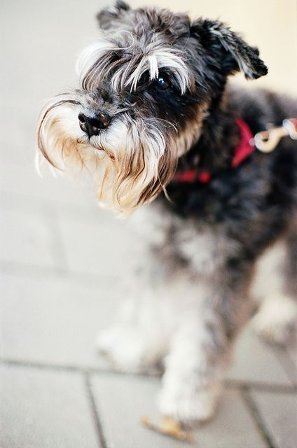 SCHNAUZER... favorite dog ever.  Don't shed, smart, super affectionate and will do anything to please you.  Biggest downfall... some of them do bark a lot.: Photos, Pets Animals, Animal Kingdom, Schnautzer My Baby, Baby Dogs, Friend, Cute Animals 22