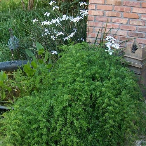 Asparagus Fern Seeds (Asparagus Sprengeri) 30+Seeds