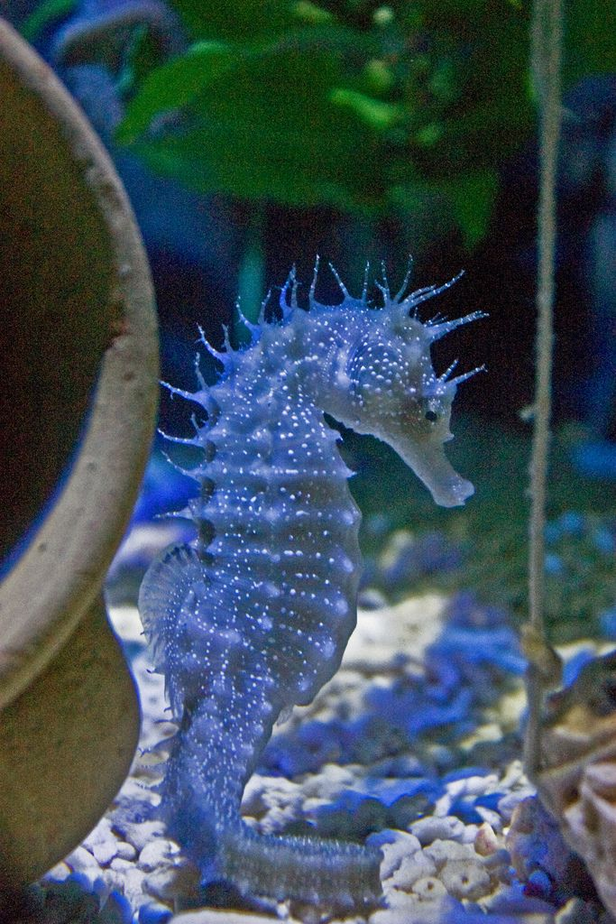 Spiny seahorse. ❦ There has been some progress in stopping over fishing and environmental damage in their ocean habitat and eco tourism the alternative support of the fishing communities ❦