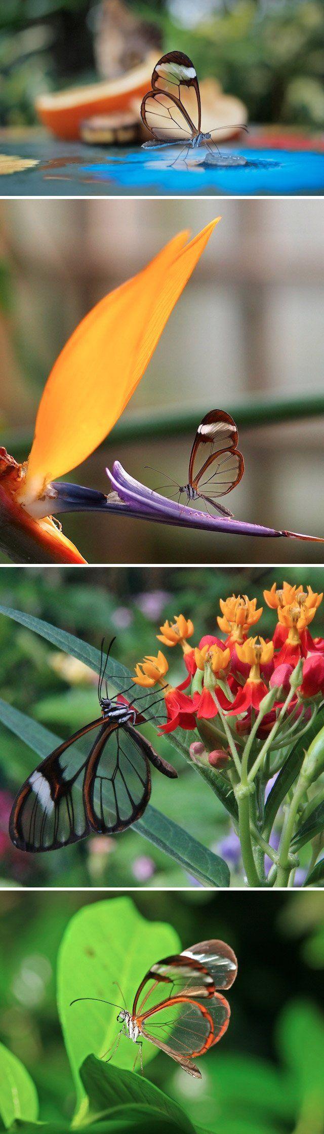 Esse é mais um daqueles exemplos de design da natureza de cair o queixo. Conheça a Greta Oto, uma borboletada famíliaNymphalidae,também conhecida comoborboleta de cristal. Otecido entre as nervuras das asas dela se parece mais com vidro, porqueque não têm as escamascoloridasencontradas em outras borboletas.Fizemos uma compilação de fotos desse ser incrível,que somente pode ser encontrado em algumas regiões da América Central, entre o México e Panamá.Via
