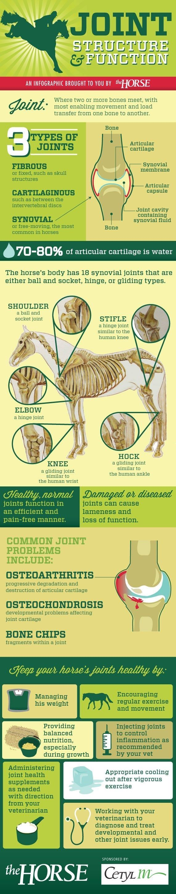 13 best Equine Anatomy images on Pinterest | Horse anatomy ...