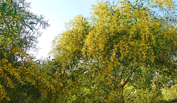 Acacia, Spring 2013, North Cyprus