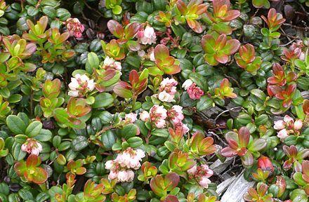 Vaccinium vitis-idaea - Wikipedia, the free encyclopedia