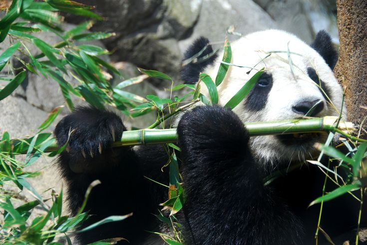 Panda Panda Panda, Giant Panda Giant Panda