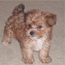 YorkiePoo (Yorkie/Poodle) - non-shedding dog idea.