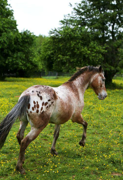Best 25  Appaloosa horses ideas on Pinterest