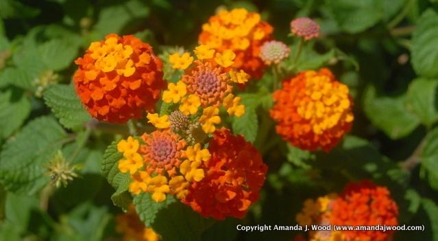 Croatia flowers