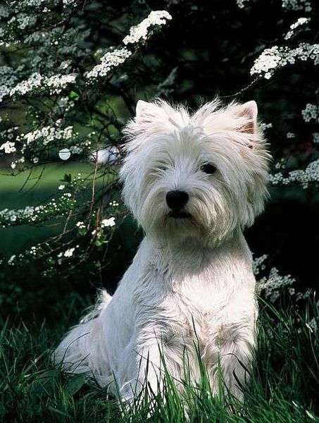 West highland white terrier                                                                                                                                                                                 More