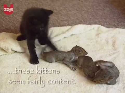 Amazing footage of a mother cat that is nursing several baby squirrels who fell out of a nest...