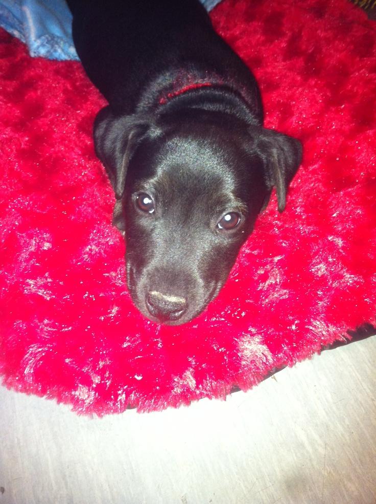 Jett the patterdale terrier pup dogs pinterest