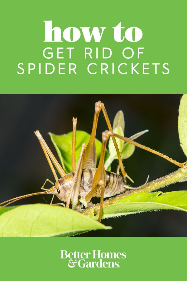5 Things You Didn T Know About Spider Crickets And How To Get Rid Of Them Getting Rid Of Crickets How To Get Rid Cricket