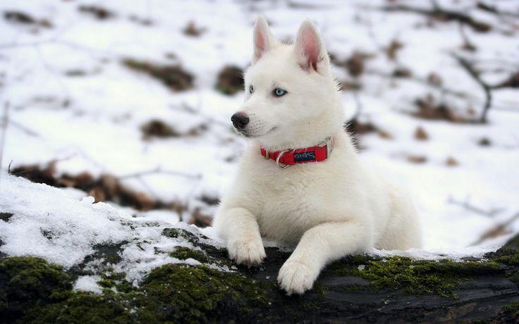 White beautiful fur siberian husky.http://ift.tt/2zp3khm
