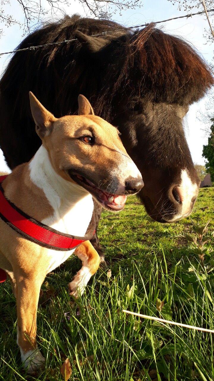 Best friends #mini horse meets mini bull terrier