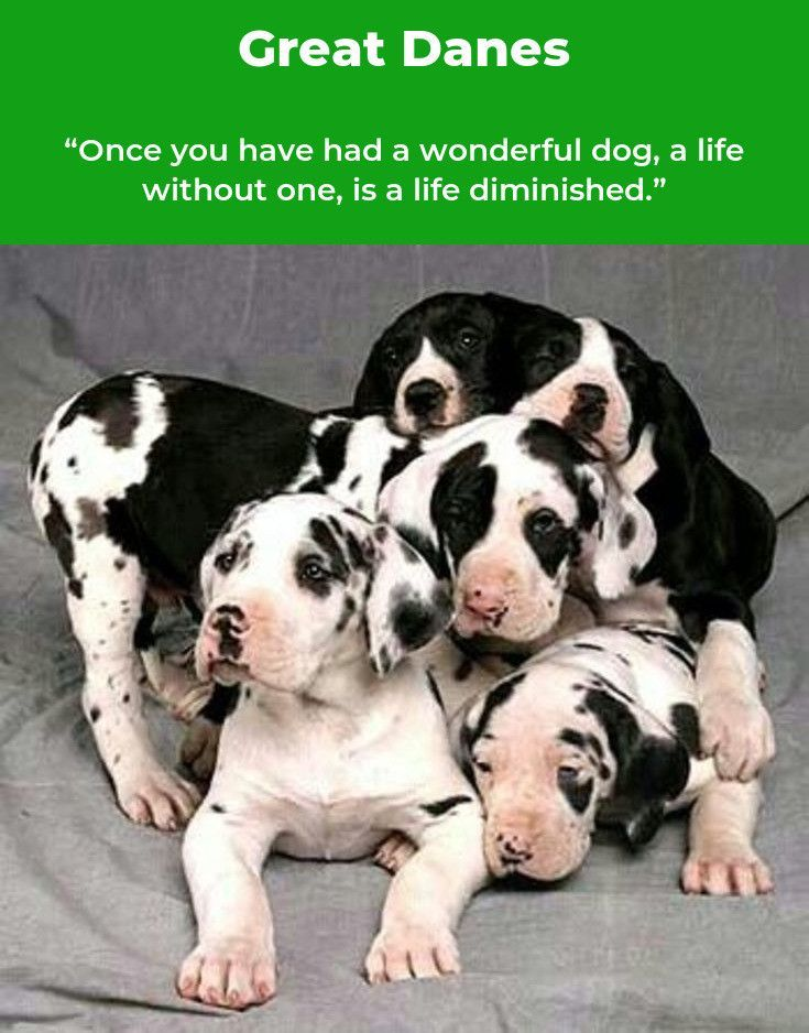 Great Danes Great Dane Great Dane Puppy Great Dane Dogs