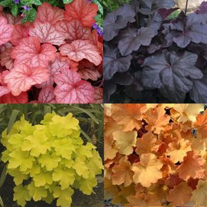 Heuchera...like coleus comes in a vibrant array of colours, only its a perrenial.  Try a garden with these and hosta and you have a showcase of colour!