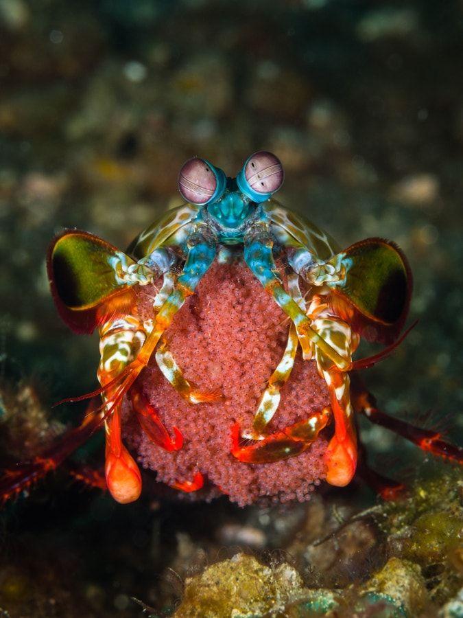 ¿Sabías que la patada del camarón mantis es tan letal que podría romper el vidrio de un acuario?   Planeta Curioso¿Sabías que la patada del camarón mantis es tan letal que podría romper el vidrio de un acuario? – Planeta Curioso