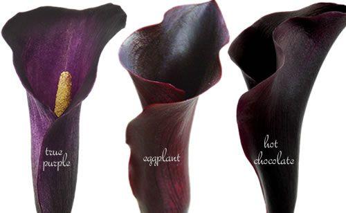 Flower profile: Black calla lilies