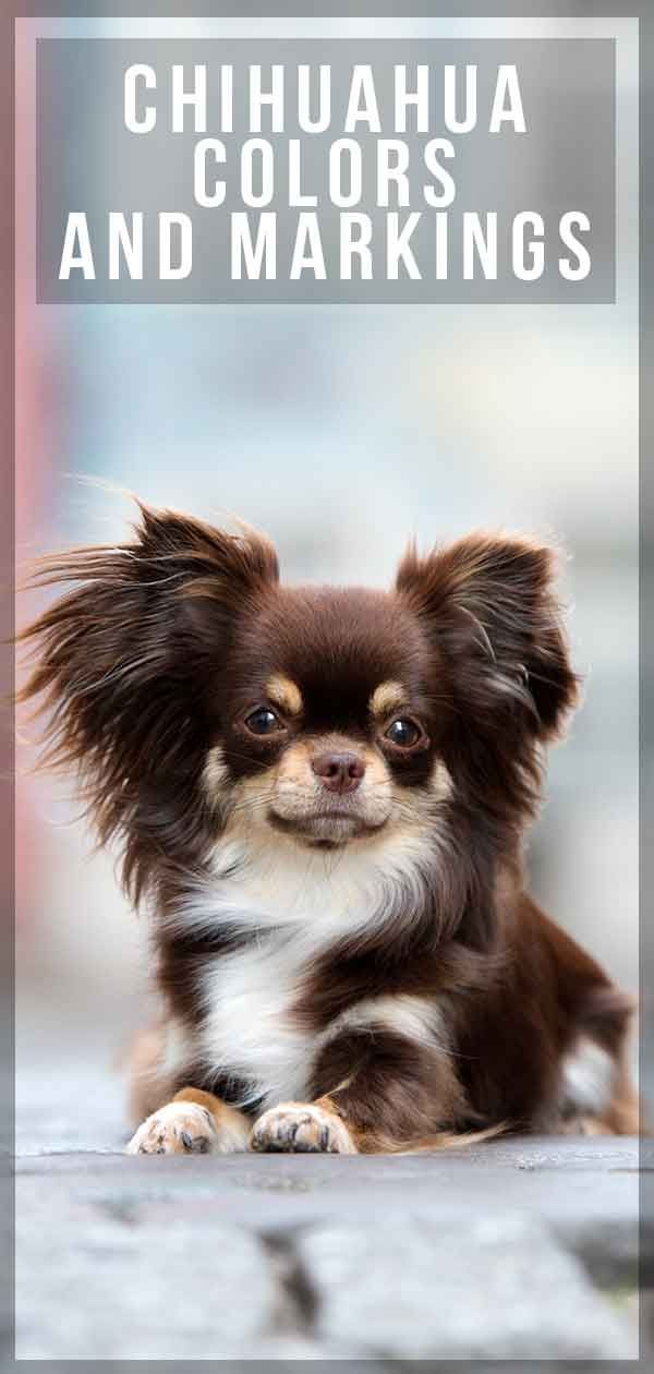 Find Out More About Chihuahua Colors And Markings Chihuahua