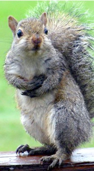 Animal Symbolism: Meaning of the Squirrel - When the squirrel comes into our lives it is often a message for us to have more fun, and take life a little less seriously. We can see this in the squirrel's daily antics in our yards and surroundings. (read more...)