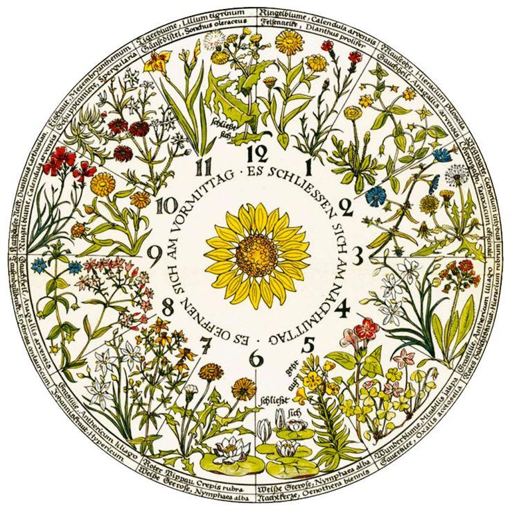 Linnaeus and the Flower Clock