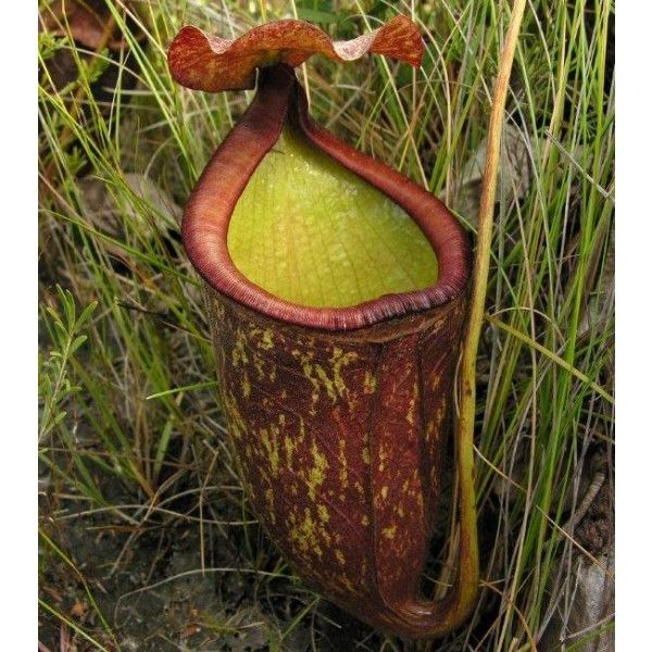 Pitcher Plant - Nepenthes Rowanae