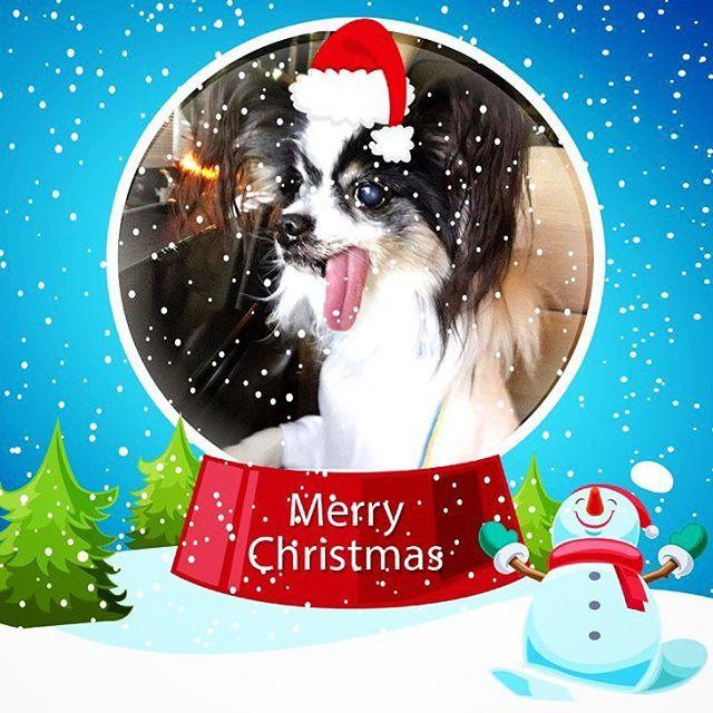 ✔️ 2016.12.24🎄Christmas Eve  ポンゴも一緒にホームパーティー🎁🍾 ポンちゃん服も買って自由にあちこち回って暴れてたよ🐶💗 楽しかった〜🎅✨ 帰りは抱っこでしがみついて爆睡💤 みんなのクリスマス📷見るの楽しみ❤️ . .  #papillon #dog #doglife #lovedogs #dogs #dogstagram #seniordog #cutedog #mydog #merrychristmas #Christmas #Christmaseve #パピヨン #愛犬 #シニア犬 #クリスマスイブ #クリスマス #14歳2ヶ月6日