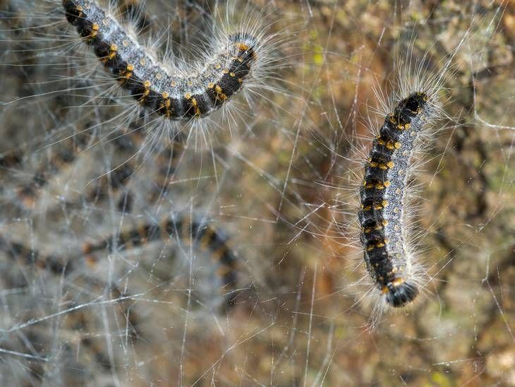 larver med hår