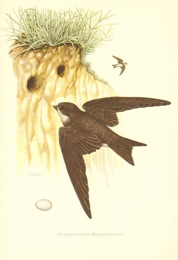 1953 Sand Martin, Bank Swallow or Collared Sand Martin, Riparia riparia Vintage Offset Lithograph