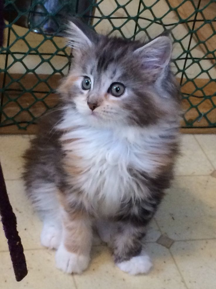 Silver Maine Coon Kittens For Sale - #GolfClub