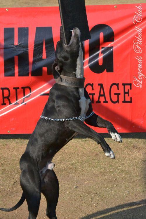 apbt:  911 Venom#pitbulls #dog breeds #canine pet #dogs #pitbull puppy #pitbull dog #pitbull breeds #red nose pitbull #pitbull terrier #apbt #staffordshire terrier #amstaff #english terrier #black pitbull #moo moo pit #chocolate pitbull #pitbull poodle #blue nosed pit #pitbull mutt #mans best friend #4 month old pitbull