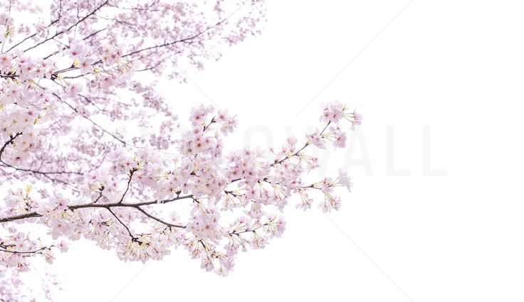 Divine Cherry Blossoms - Fototapeter & Tapeter - Photowall
