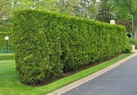 Resultado de imagem para jardins com podocarpus