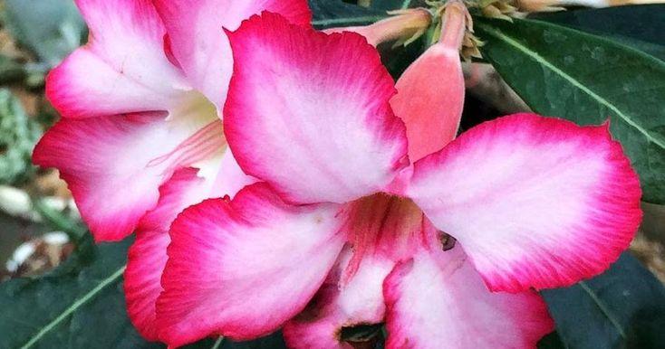 ¡Aprende a germinar semillas de la rosa del desierto!