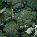 Broccoli: Planting, Growing and Harvesting Broccoli Plants