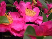 The Japanese floral emblem of January is the camellia (Camellia sinensis)