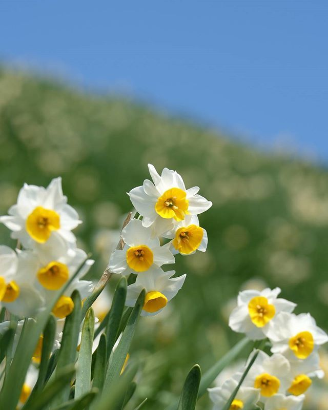Nada Kuroiwa Narcissus Field Awaji Hyogo Japan Narcissus Flowers Field