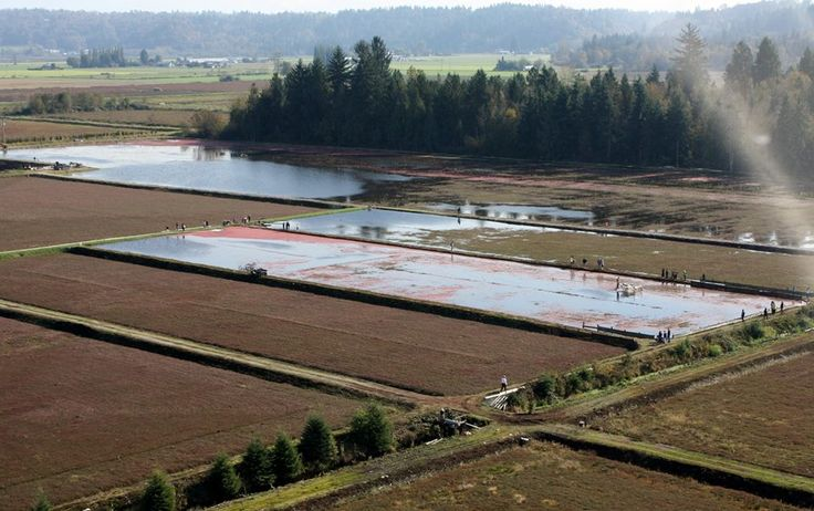 Fort Langley, BC. cranberry farm.