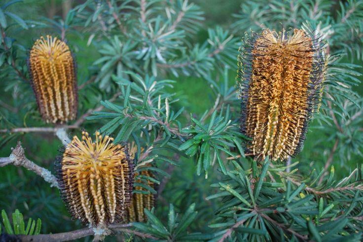 Banksia Black Magic --- For more Australian native plants visit australfora.com