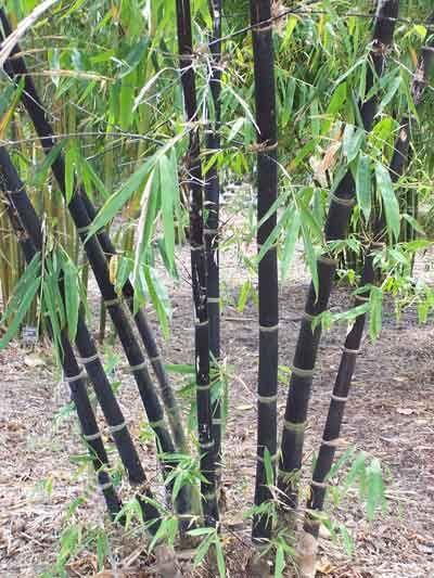 clumping bamboo garden Best 25+ Clumping bamboo ideas on Pinterest | Bamboo