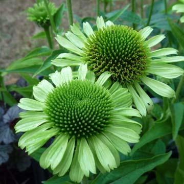 green jewel echinacea garden inspiration pinterest. Black Bedroom Furniture Sets. Home Design Ideas