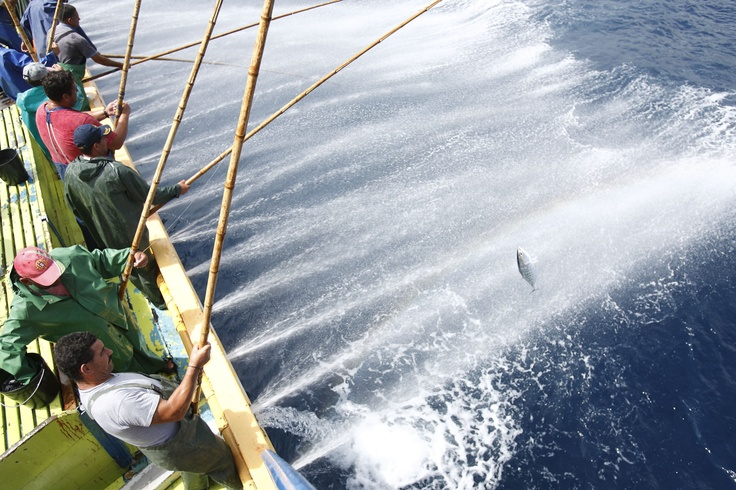 Pole and line fishing in the azores the traditional and for Tuna fishing pole