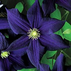 Romantika Clematis. This is an amazing color. And my love for these almost black flowers continues.