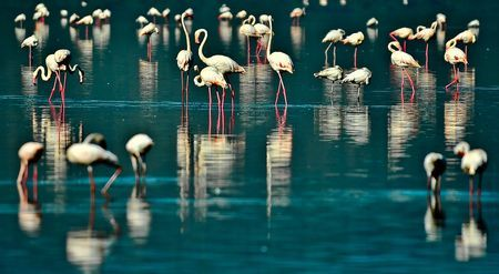 Lesser Flamingos (Phoenicopterus minor). Photo by Nora de Angelli -- National Geographic Your Shot