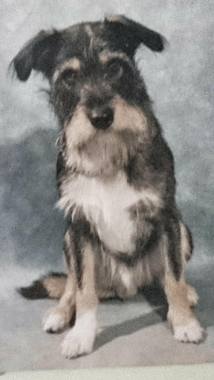 Dit was Chucky wat mijn hond was!!!   Een kruising de vader een boerenfox &moeder een schnauzer (peper /zoutkleurig)!!!