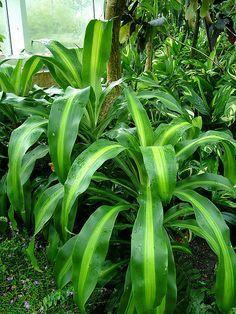 La Drácena es una planta arbustiva de la familia Asparagaceae y su origen se encuentra en África, también es conocida popularmente conocida como Tronco del Brasil, Palo del Brasil, Carey y Árbol de…