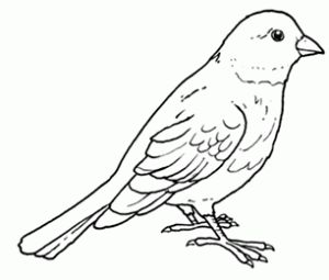 nightingale animal coloring pages. Free printable canary colouring pages for preschool 10 best Canary Coloring Pages images on Pinterest  Children
