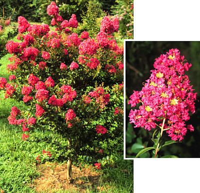All About Crape Myrtles, including varieties, pruning, and even their Fall colors!